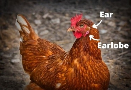 Anatomy of a chickens ear and earlobe