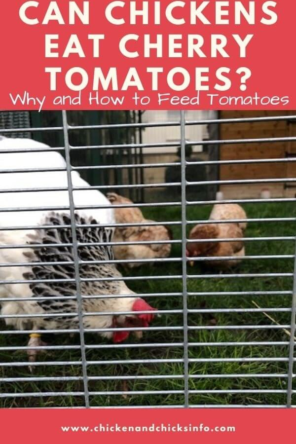 Can Chickens Eat Cherry Tomatoes