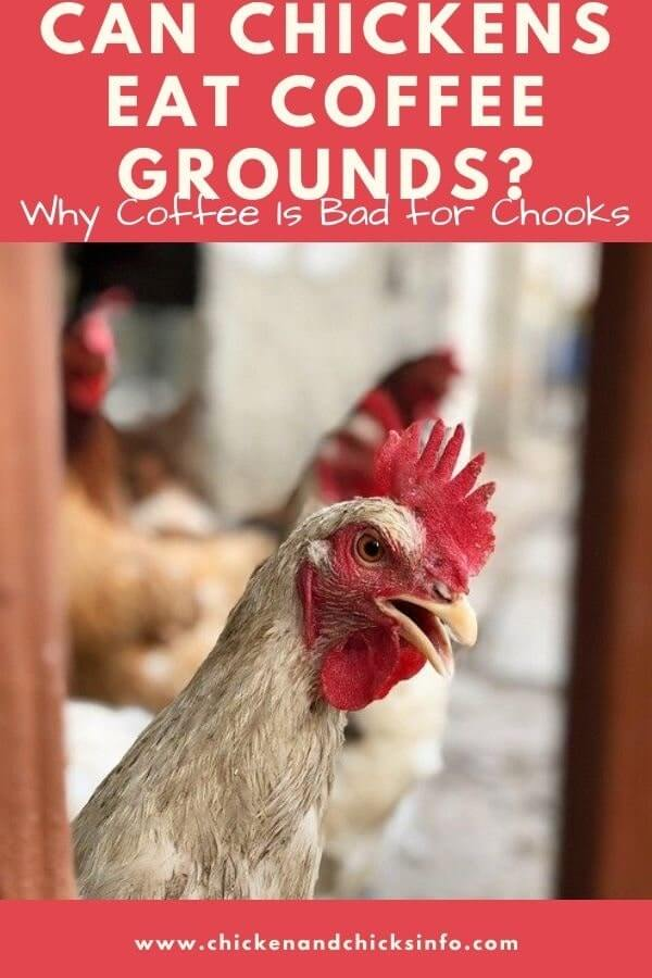 Can Chickens Eat Coffee Grounds