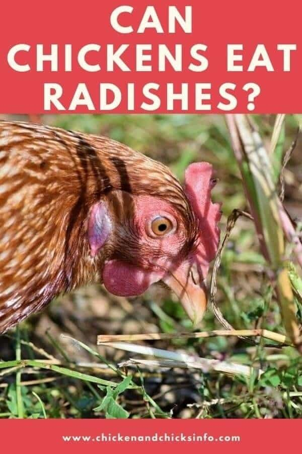 Can Chickens Eat Radishes