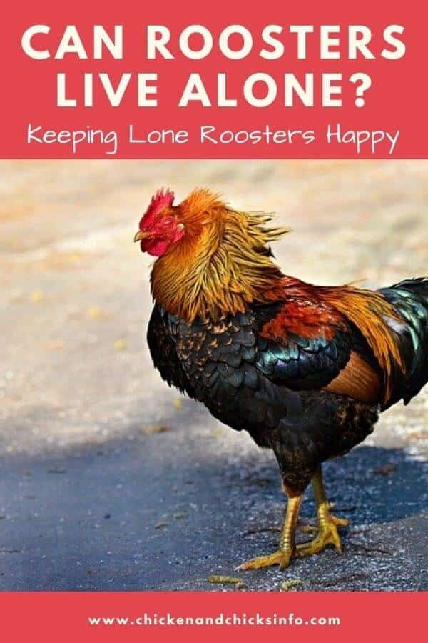 Can Roosters Live Alone