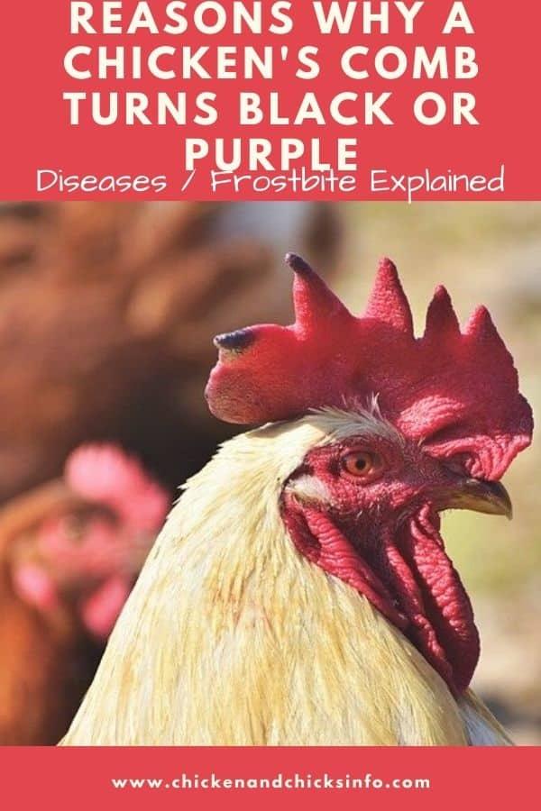 Chicken Comb Turning Black