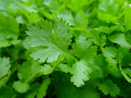 Growing Parsley for Your Chooks