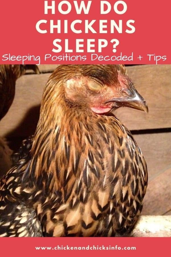 How Do Chickens Sleep
