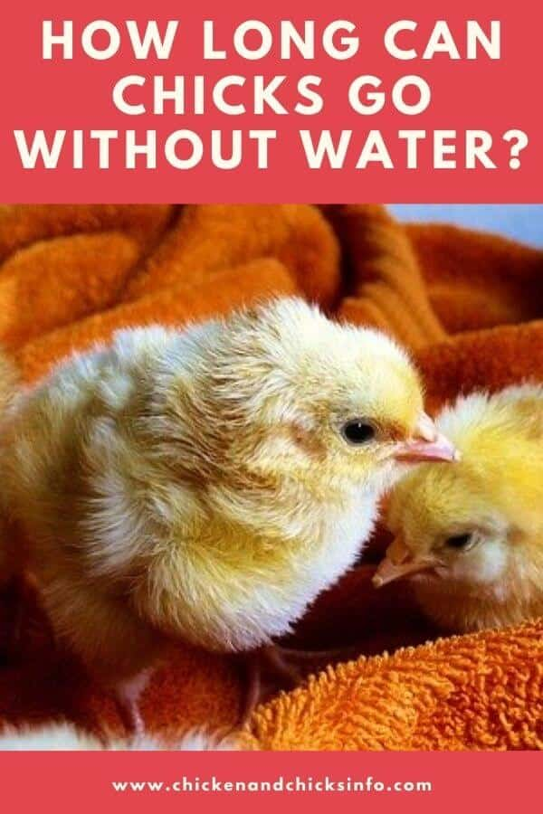 How Long Can Chicks Go Without Water