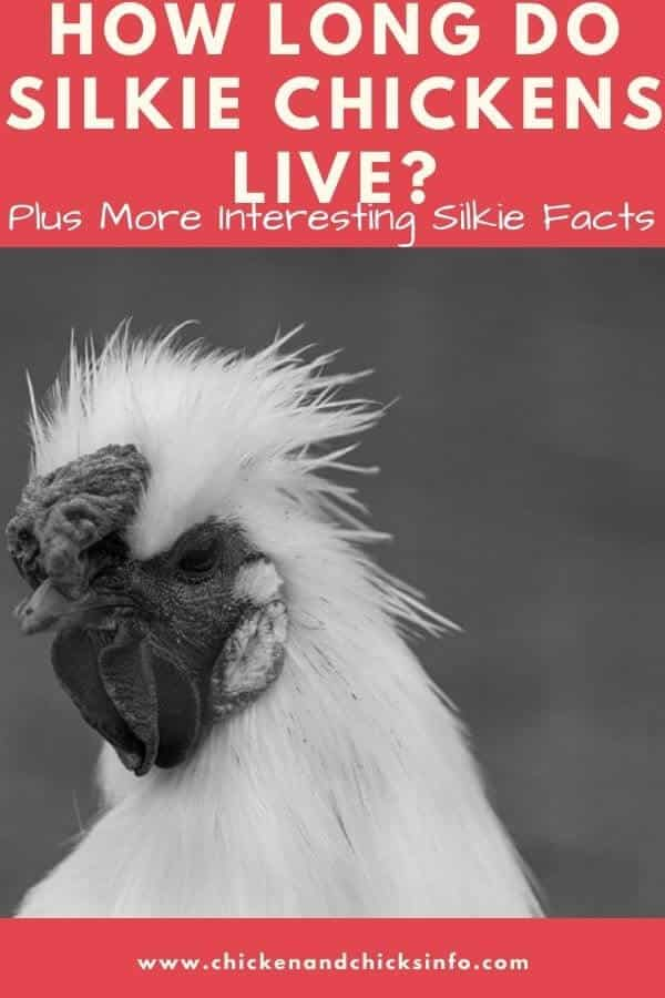 How Long Do Silkie Chickens Live