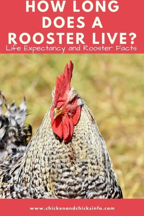 How Long Does a Rooster Live