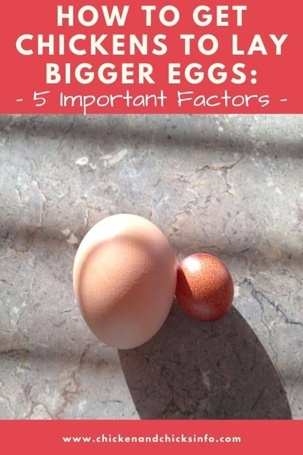 How to Get Chickens to Lay Bigger Eggs 5 Factors