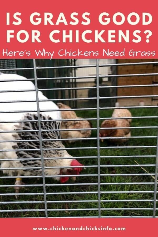 Is Grass Good for Chickens