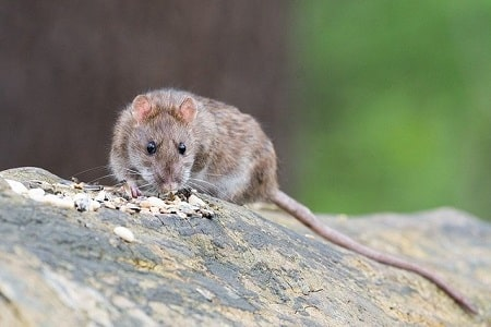 Tips to Deter Rats and Other Rodents and Vermin