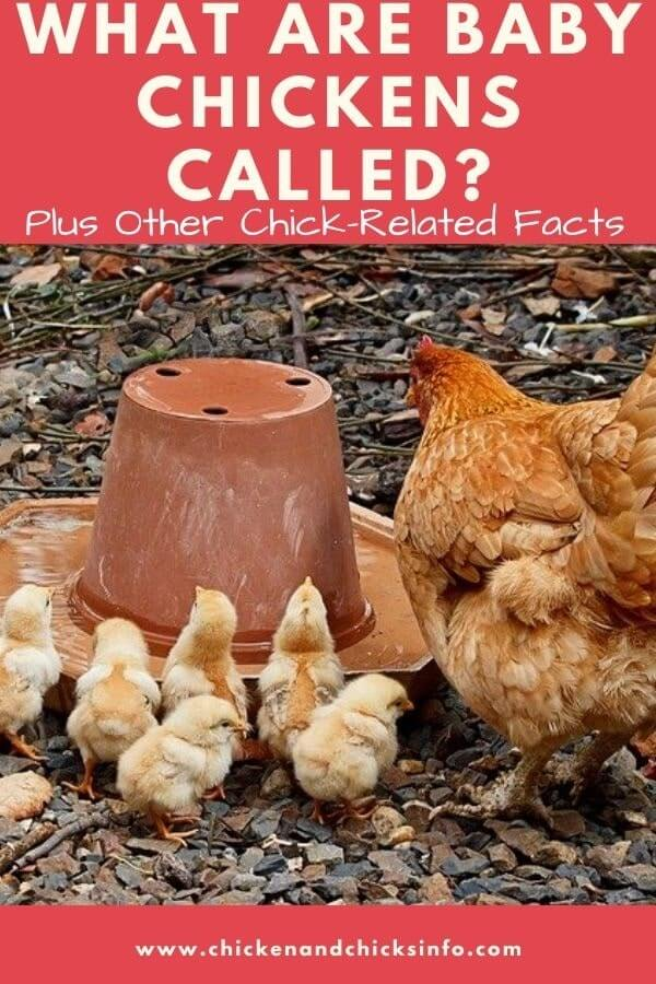 What Are Baby Chickens Called