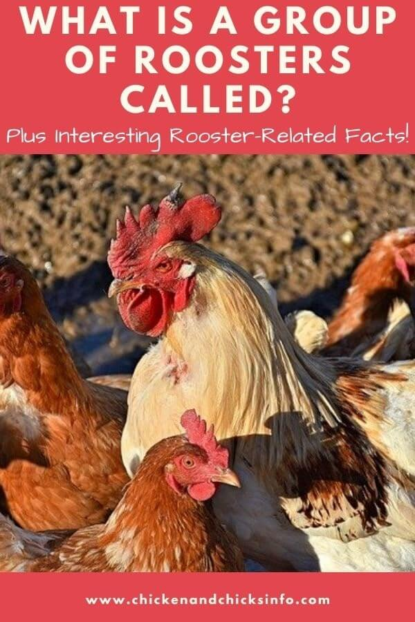What Is a Group of Roosters Called