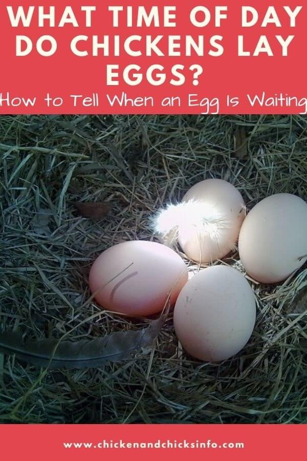 What Time of Day Do Chickens Lay Eggs