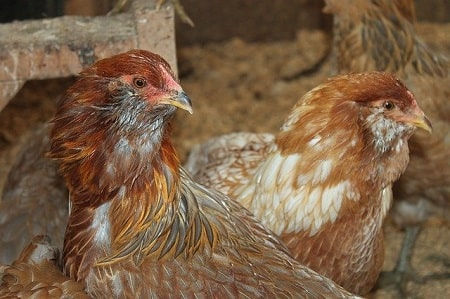 When Do Pullets Start Laying