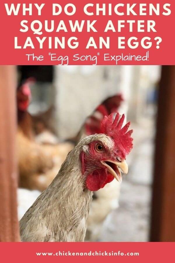 Why Do Chickens Squawk After Laying an Egg