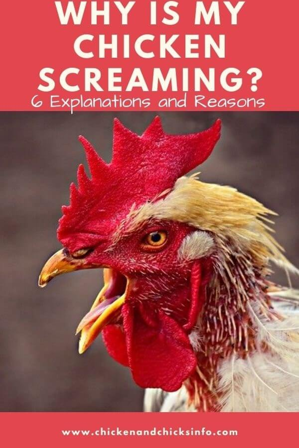 Why Is My Chicken Screaming