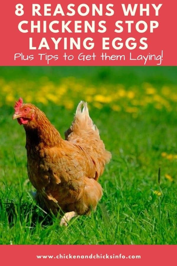 8 reasons why chickens stop laying eggs and what to do