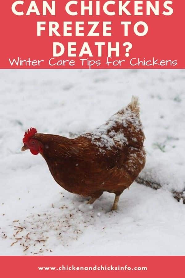 Can Chickens Freeze to Death