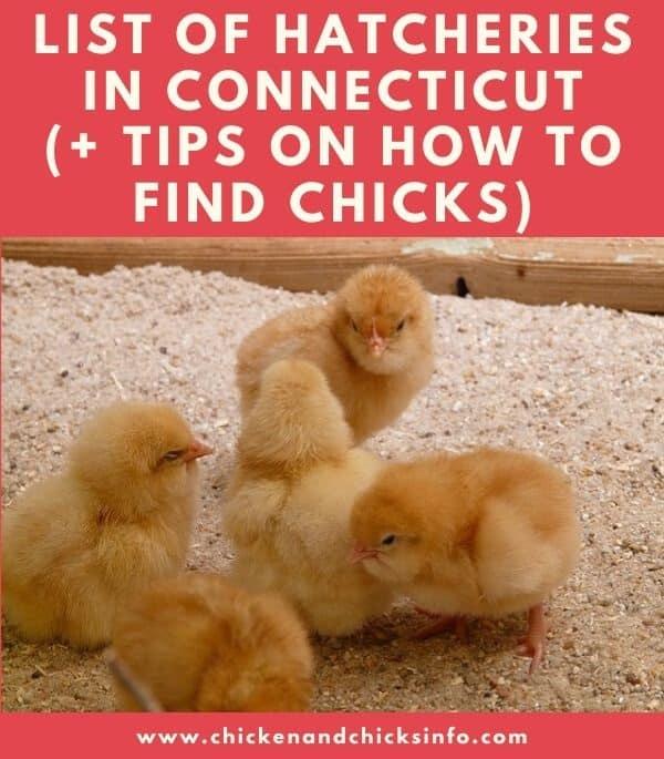 Chicken Hatchery Connecticut