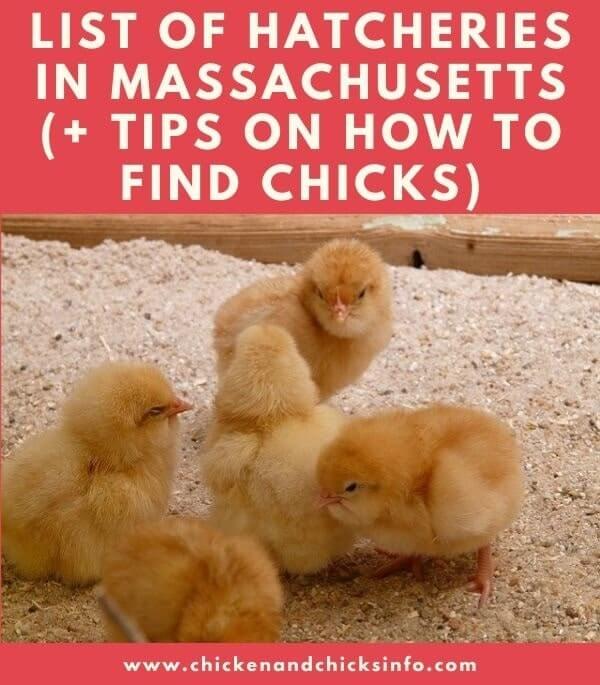 Chicken Hatchery Massachusetts