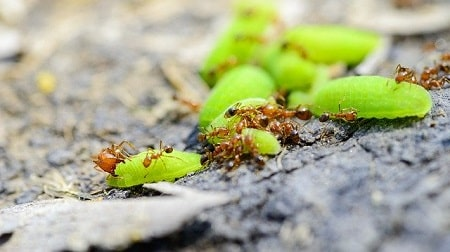Do Chickens Eat Red Ants and Fire Ants