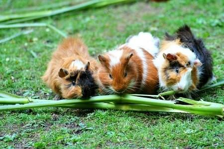Do Guinea Pigs Have Different Dietary Requirements to Chickens