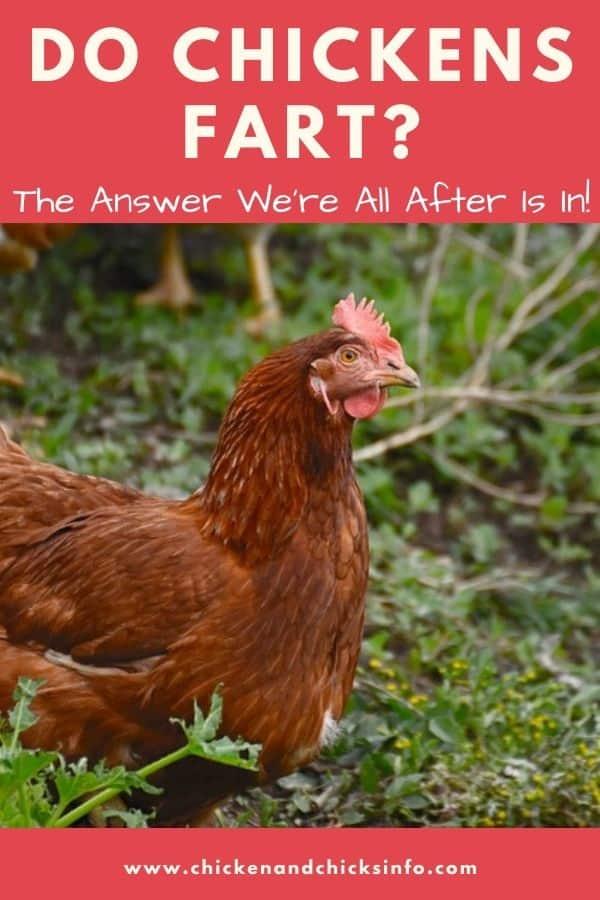 Do chickens fart