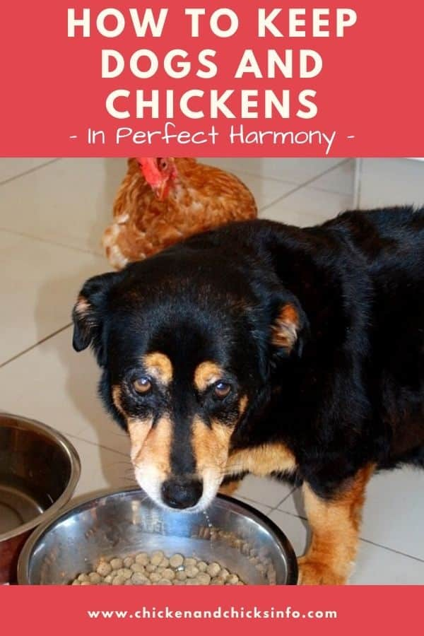 How to Keep Dogs and Chickens In Perfect Harmony