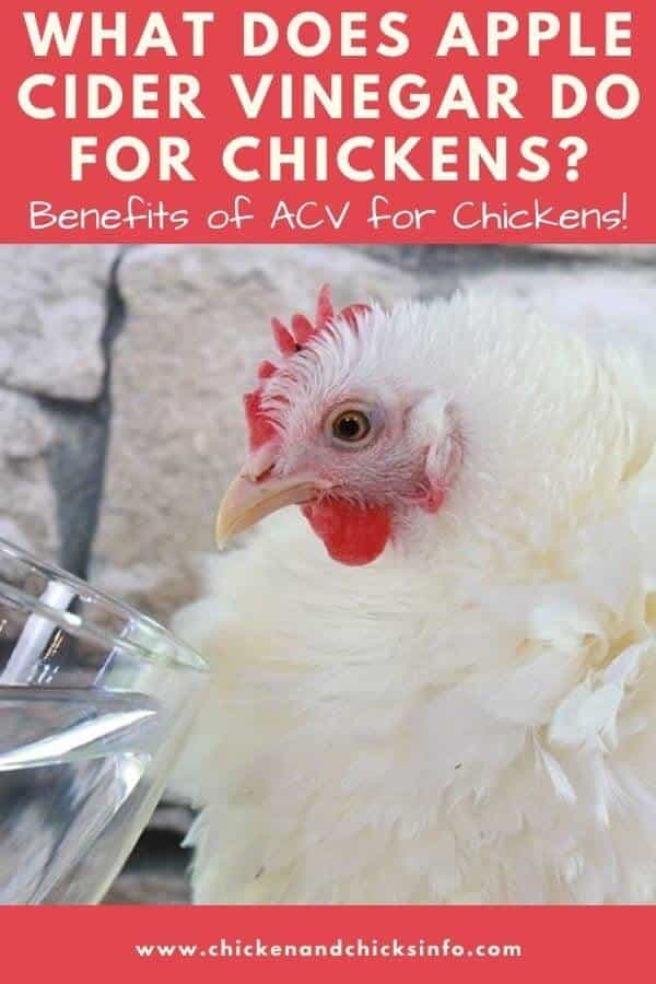What Does Apple Cider Vinegar Do for Chickens