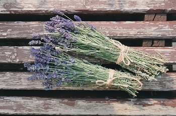 What Is Lavender for Chickens