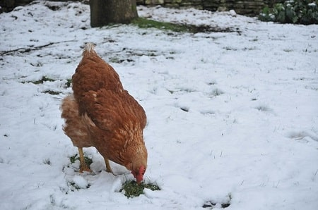 What Temperature Is Too Cold for Chickens
