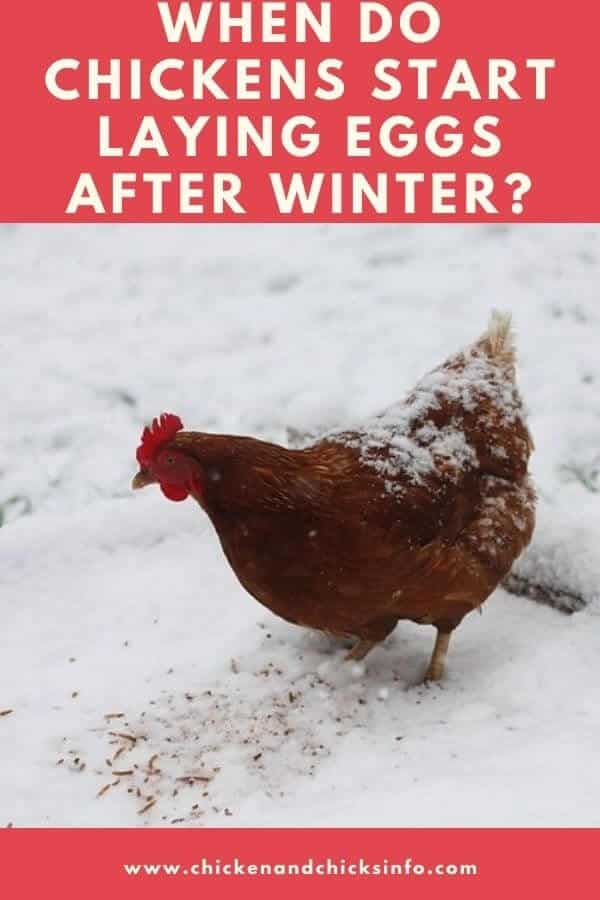 When Do Chickens Start Laying Eggs After Winter