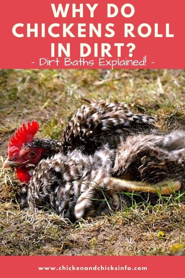 Why Do Chickens Roll in Dirt