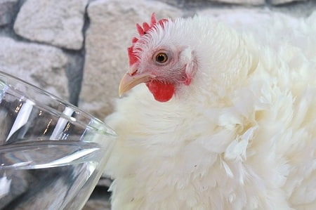 reasons why chickens stop laying eggs dehydration