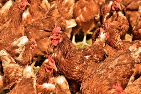 reasons why chickens stop laying eggs stress