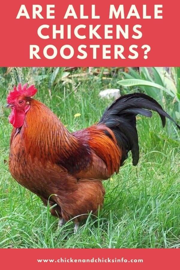 Are All Male Chickens Roosters