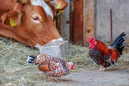 Can Chickens Digest Milk
