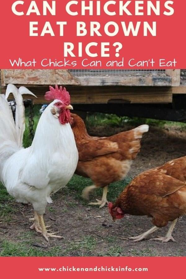 Can Chickens Eat Brown Rice