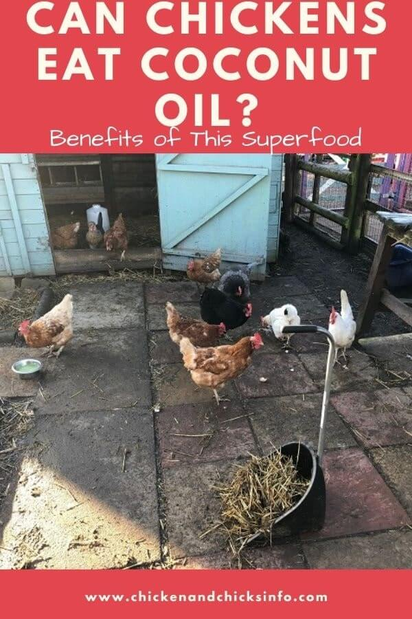 Can Chickens Eat Coconut Oil