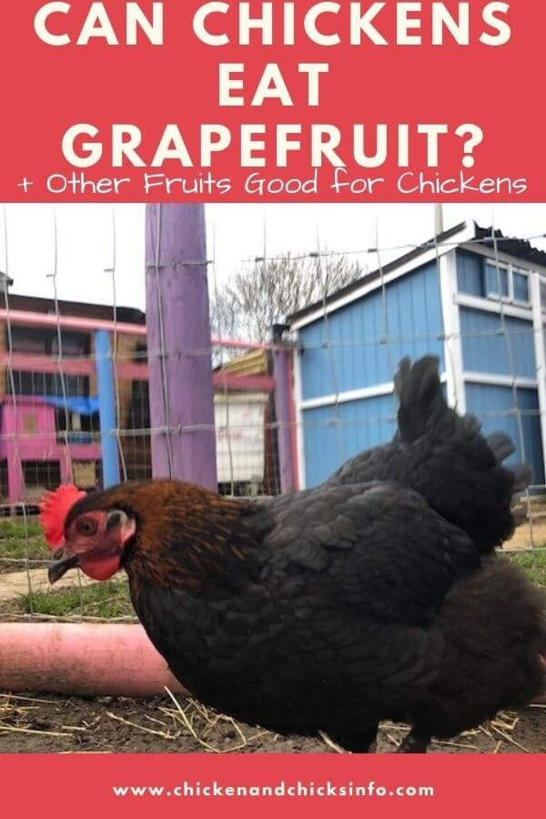 Can Chickens Eat Grapefruit and Peels