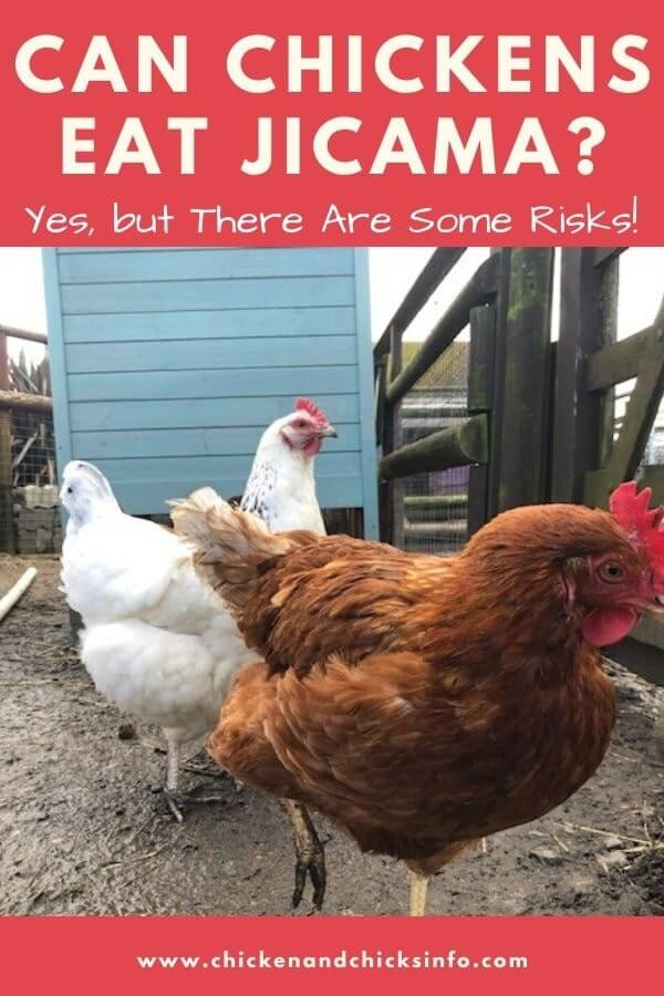 Can Chickens Eat Jicama