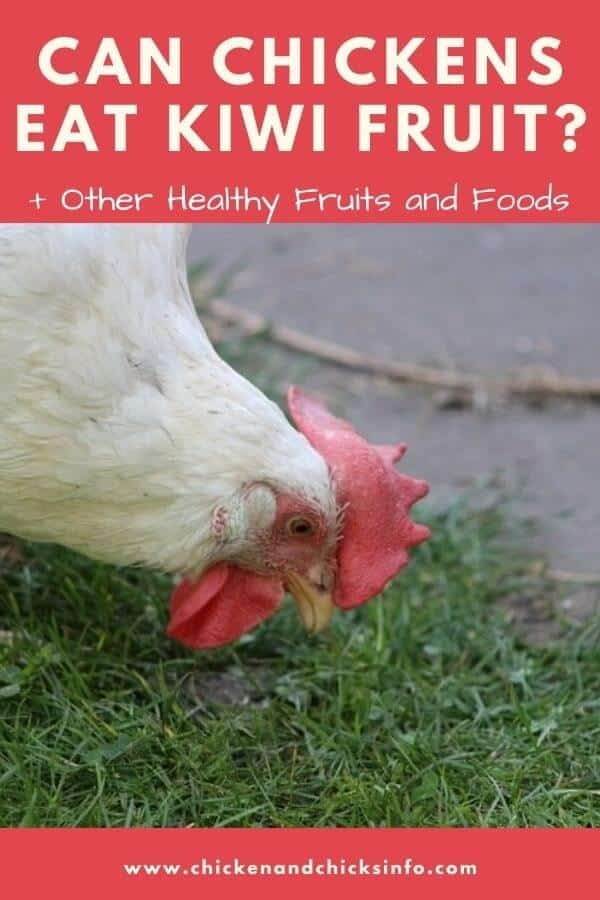 Can Chickens Eat Kiwi Fruit