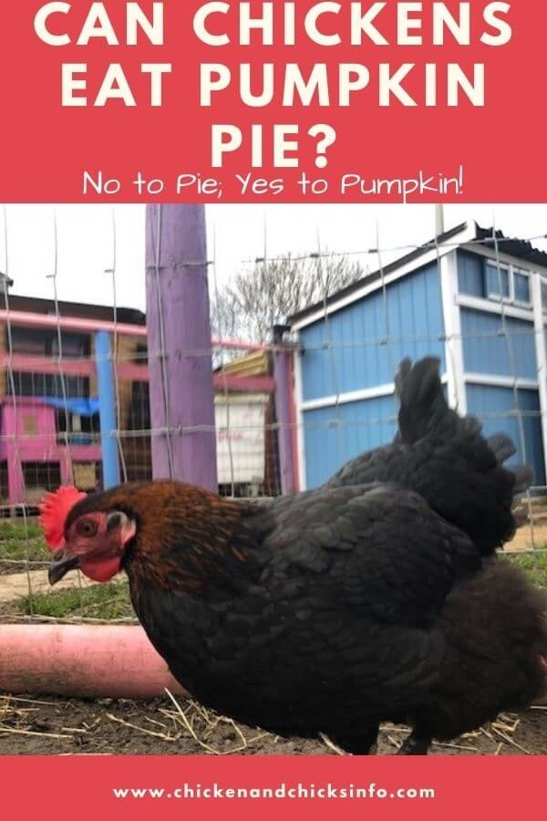 Can Chickens Eat Pumpkin Pie