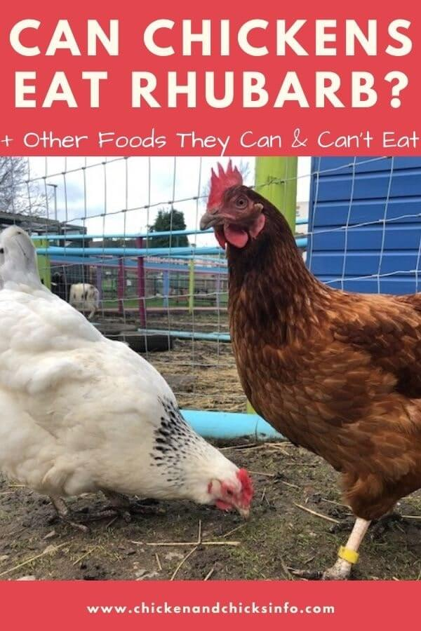 Can Chickens Eat Rhubarb