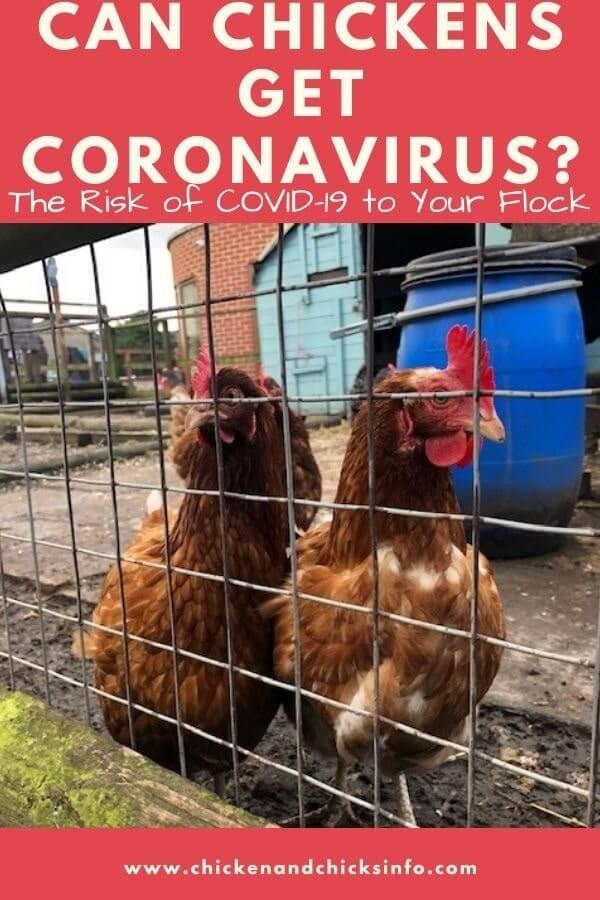 Can Chickens Get Coronavirus