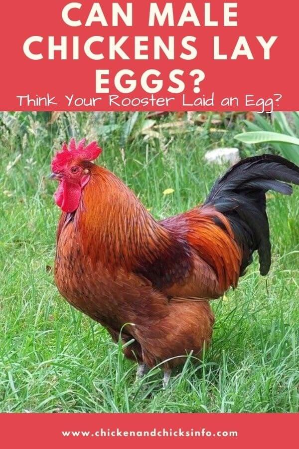 Can Male Chickens Lay Eggs