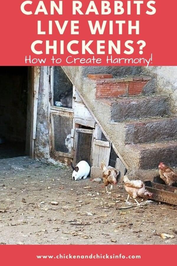Can Rabbits Live With Chickens