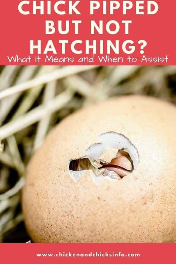 Chick Pipped but Not Hatching