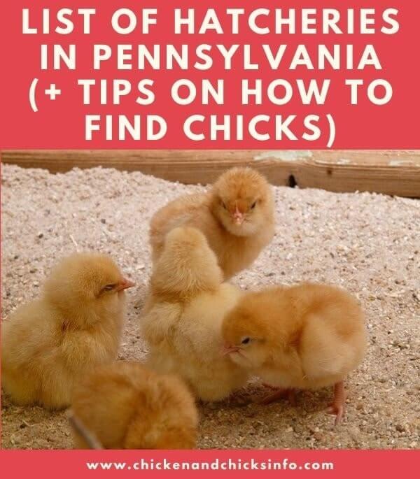 Chicken Hatchery Pennsylvania