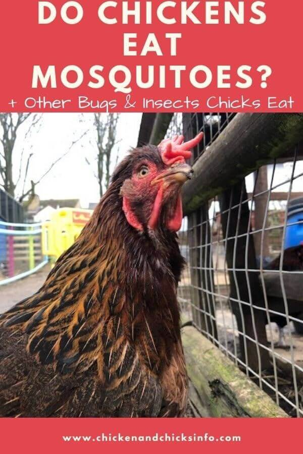 Do Chickens Eat Mosquitoes